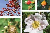 Růže s výraznými šípky jsou vhodné i k výsadbě po obvodu větších ovocných sadů, kde poskytují úkryt i možnost zahnízdění užitečnému drobnému ptactvu