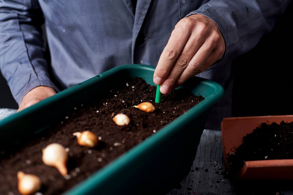 Naprostá většina cibulovin potřebuje slunné nebo mírně polostinné stanoviště, ať už půjde o květinový záhon, skalku, lemování zahradní pěšinky nebo chodníčku.