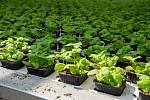 Na jednom a půl hektaru skleníků v Suchohrdlech u Miroslavi na Znojemsku každoročně zasadí čtvrt miliardy semínek.
