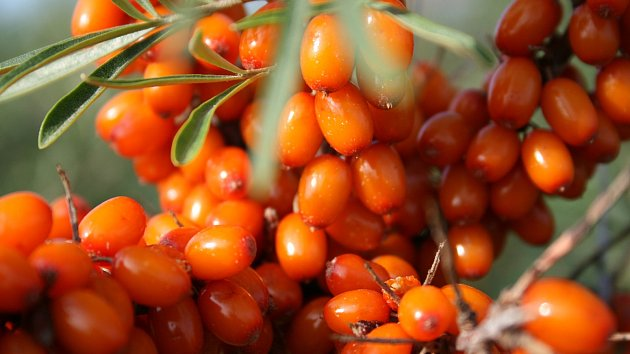 20x více vitamínu C, nežli je obsaženo vpomeranči, obsahují plody rakytníku