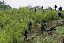 Plantáže kokainovníku se přesouvají so brazilské Amazonie.