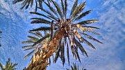 Jiné palmy než datlové v Tunisku nerostou. V prosinci zrovna končila sklizeň.