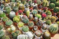 Nejšťastnějším obdobím v životě kaktusáře je prý chvíle, kdy jejich exotická kráska vykvete.