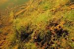 Dno mělkých příbřežních oblastí Prášilského jezera pokrývají tmavě zelené porosty větvených řas.