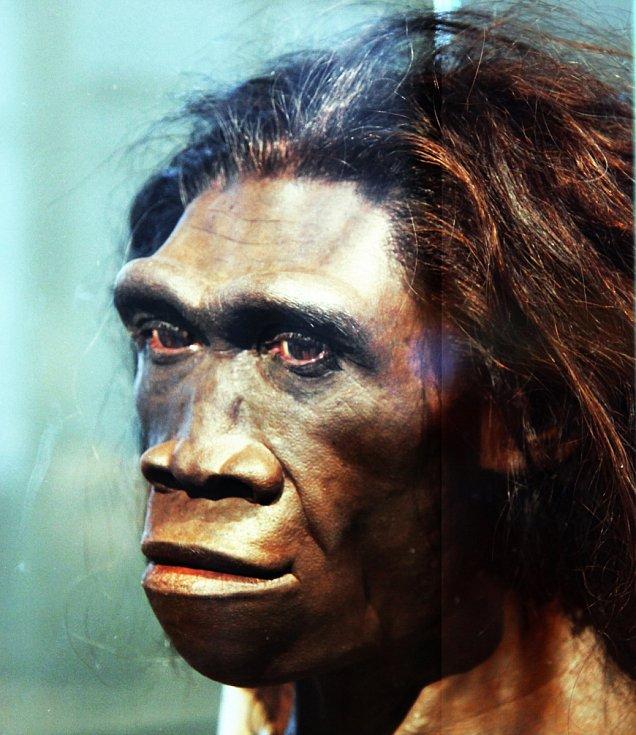 Forenzní rekonstrukce tváře dospělé ženy Homo erectus.