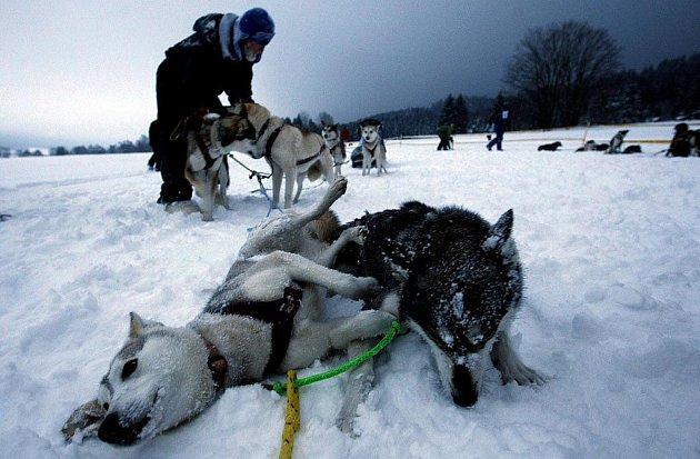 Na 90 musherů se zúčastnilo tradičního závodu psích spřežení Šediváčkův long v Orlických horách.