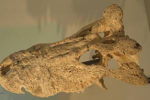 "Lebka vyhynulého pravěkého ""rohatého"" krokodýla Voay robustus"