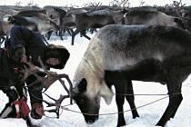 PŘIJDOU O OBŽIVU? Sibiřští pastevci mohou s nuceným vybíjením ohrožených sobů přijít o tradiční zdroj obživy.