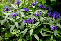 Chrpa horská (Centaurea montana)
