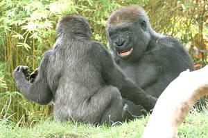 Gorily v zoo v San Diegu žijí jako rodina, ilustrační foto