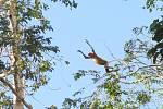 Samice kahau nosatého právě předvádí jeden zakrobatických kousků. Tito primáti vdivoké přírodě nikde jinde než na Borneu nežijí.