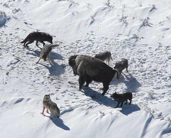 Bizon obklíčený smečkou vlků šedých