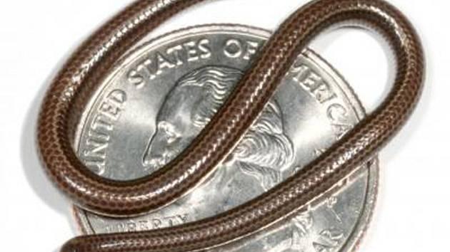 Nejmenší had světa - Leptotyphlops carlae z Barbadosu.
