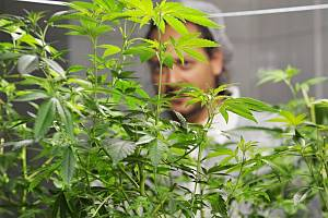 Pracoviště pro výzkum pěstování léčebného konopí otevřela 23. srpna 2016 v Meclově na Domažlicku společnost Meclovská zemědělská