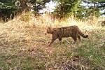 Kočka divoká, Javorníky