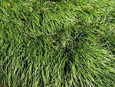 okrasná tráva, ilustrační foto