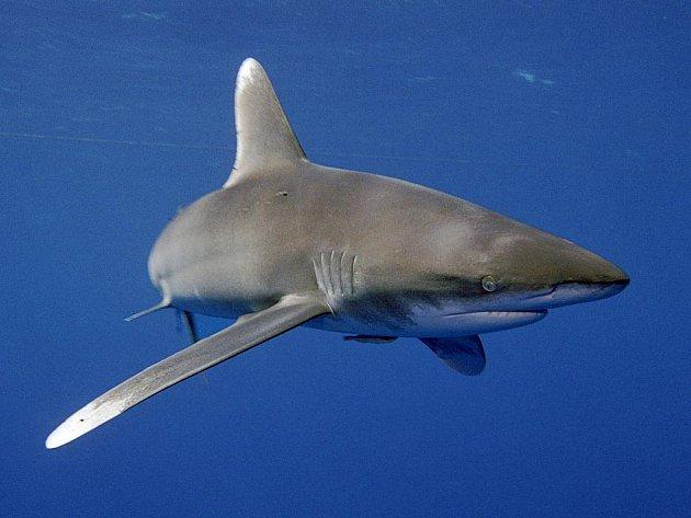 Žralok - ilustrační foto.