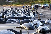 Velryby uvízlé na pláži ostrova King Island při pobřeží jihoaustralského státu Tasmánie.