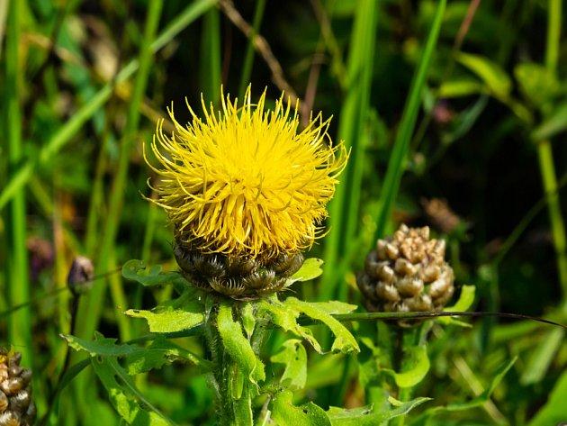 Chrpa velkohlavá (Centaurea macrocephala)