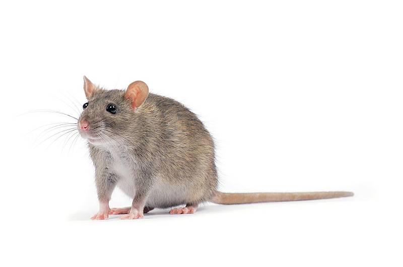 Potkani jsou podle odborníků velmi inteligentní zvířata. Dokáží přežít i hurikán.