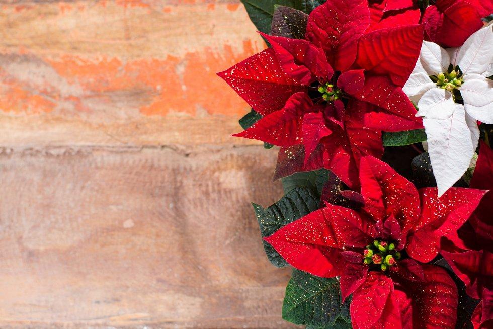 Vánoční hvězda. Rostlina se zářivě červenými listeny zdobí v posledních letech během svátků mnoho domácností.