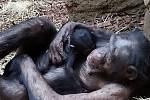 Šimpanz, ZOO Ostrava