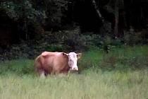 Kráva jménem Yvonne.
