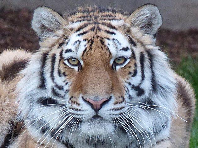 Tygr. Ilustrační foto.