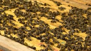 V reportáži jsme nahlédli přímo do včelích úlů v brněnské zoo.