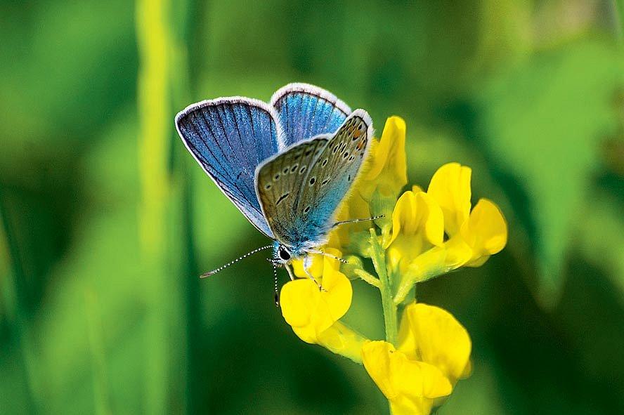 Opět se ve větší míře začínají v české přírodě objevovat například modrásci.