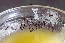 Mravence láká sladká chuť