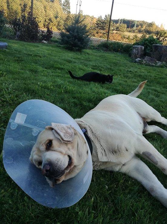 Bastík po operaci prasklé cévky na oušku..Na fotce dělá smutného, ale už vesele běhá po zahradě.