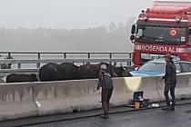 Buvoli zablokovali německou dálnici A3