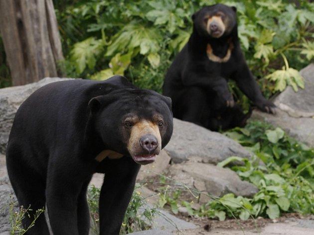 Vzácná osiřelá dvojčata medvědů malajských, kterým jsou teprve dva týdny, se podařilo zachránit stanici, která pod záštitou australské nadace Free the Bears funguje v Kambodži. Ilustrační foto.