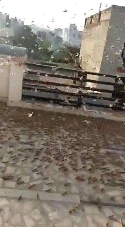Město Džajpur, metropoli indického státu Rádžasthán, zaplavila sarančata. Jejich množství je nebývalé