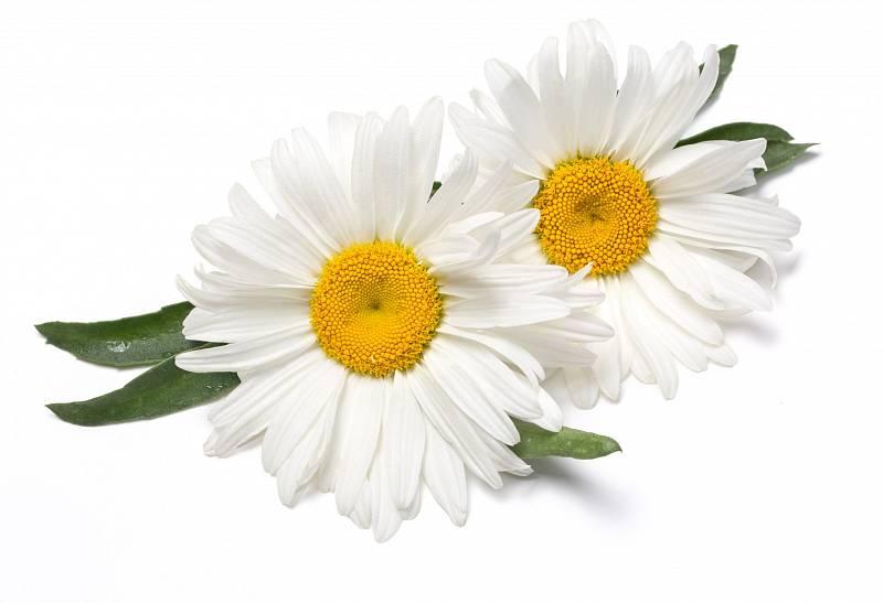 Heřmánek pravý, král mezi bylinkami, který pomáhá s mnoha neduhy, působí opravdu všestranně.