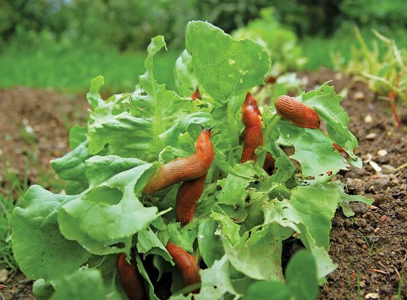 Křehký salát, klíčící fazolky, květy cuket, jahody, květiny, to všechno mizí vjejich bezedné tlamě.
