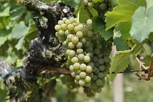 Hrozny na vinici. Ilustrační snímek