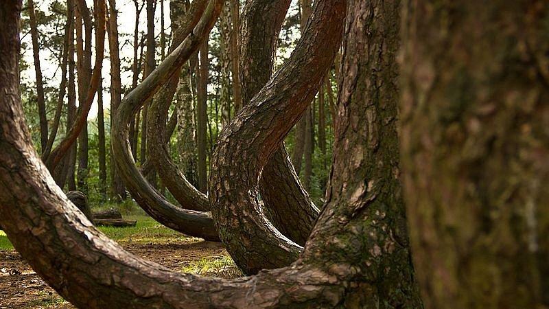 Křivý les v Polsku