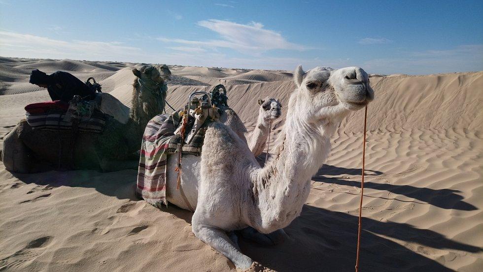Světlí jednohrbí velbloudi zvaní mehari pocházejí z jižního Alžírska. Dnes se vyskytují na celé centrální Sahaře. Jsou vyšší a štíhlejší a používají se často k velbloudím závodům.