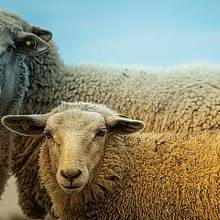 Ovce přenášely tularémii