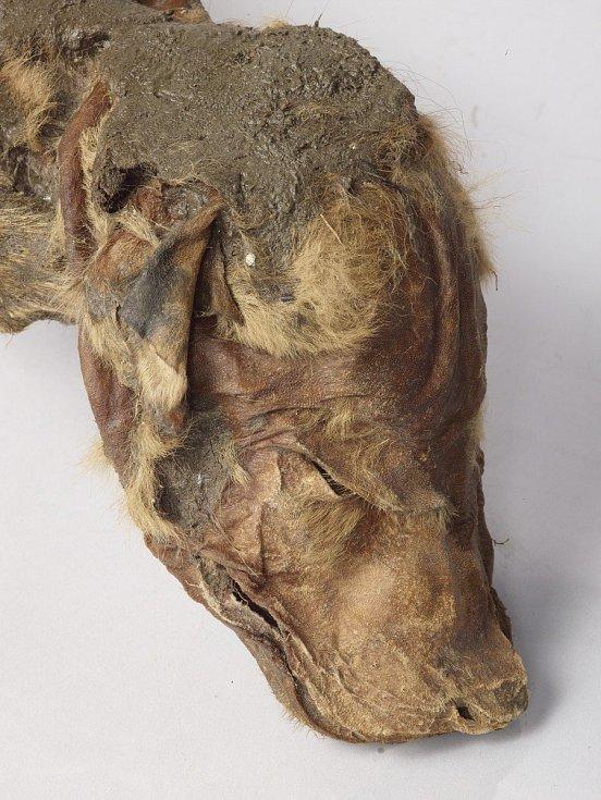 Mumie vlčího mláděte objevená v oblasti Klondike v kanadském Yukonu