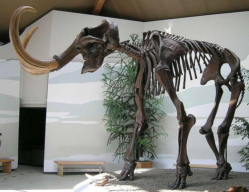 Kostra mamuta srstnatého. Poslední mamuti vyhynuli před čtyřmi tisíci let.