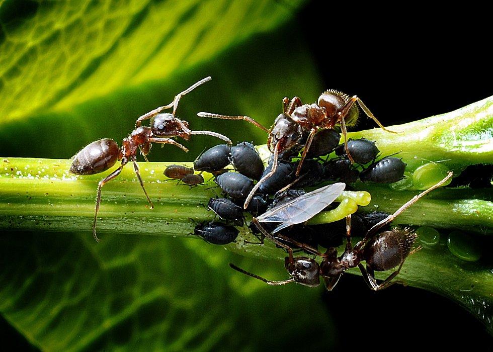 Soužití mravenců a mšic probíhá na principu směnného obchodu. Mšice poskytují mravencům potravu a ti se na oplátku starají o jejich bezpečí.