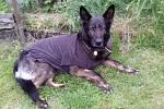 Fenka německého ovčáka Orssi po operaci nádoru na mléčné žláze.