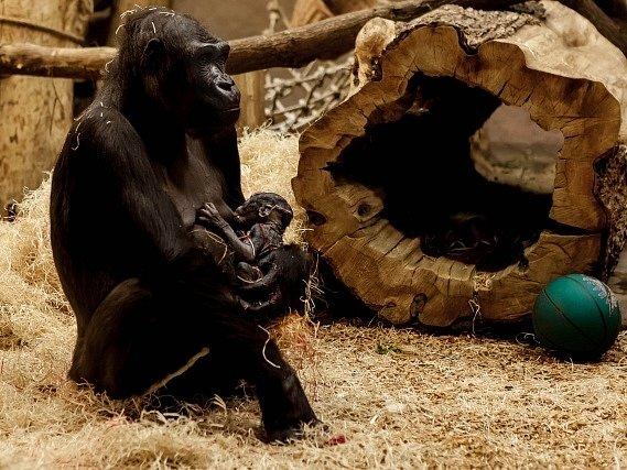 Gorila Kijivu z pražské zoo porodila 22. prosince své čtvrté mládě. Kijivu i novorozená gorilka jsou podle mluvčího zoo v pořádku.