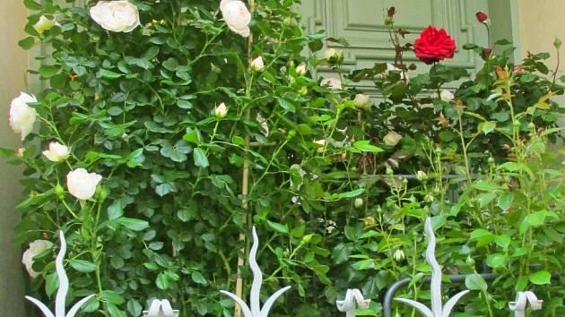 Balkon vám mohou ozdobit i červené a bílé růže.