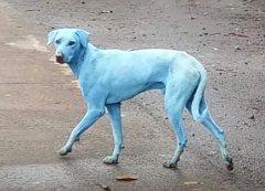 Modrý pes v Indii.
