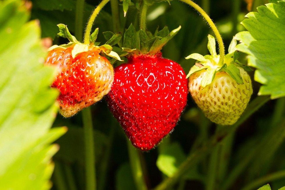 Jahodník není dlouhověká plodina, proto byste měli každým třetím až čtvrtým rokem záhon kompletně obměnit.