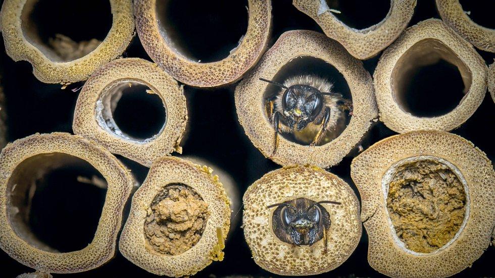 Včely samotářky.